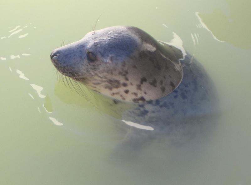 Seehund im Ecomare auf Texel