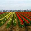 Blumenanbau auf dem Feld